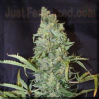 Female Ice Female 10 Cannabis Seeds